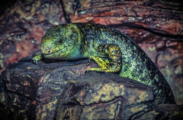 Lizards_1