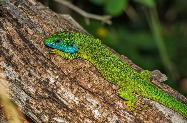 Lizards_8